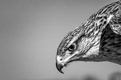 Hawk Head Portrait ferruginoso - B&W Fotos de archivo libres de regalías