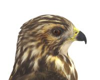 Hawk Head Profile Isolated Royaltyfria Bilder