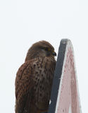 Hawk hides behind a billboard. Royalty Free Stock Images