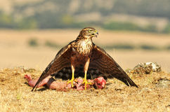 Hawk hides the food between the wings Stock Photos