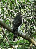 Hawk hiding from Bald Eagle royalty free stock image
