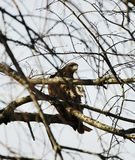 Hawk Hiding in a Dormant Tree. This is a Winter picture of a hawk perched on a branch of a dormant tree located in Elburn, Illinois in Kane County. This picture royalty free stock image