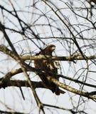 Hawk Hiding en un árbol inactivo imagen de archivo libre de regalías