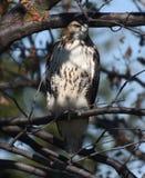Hawk Hiding ferruginoso en un árbol fotografía de archivo