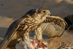 Hawk and his prey Royalty Free Stock Photography