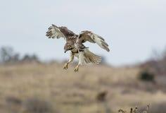 Hawk Hovering atado rojo no maduro fotos de archivo