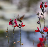 Hawk Hummingbird moth feeding from Penstemon flower. Hawk Hummingbird moth hovering in front of a red penstemon flower and feeding with its long proboscis Royalty Free Stock Photos