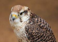 Hawk hunter. Stock Image