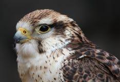 Hawk hunter. Stock Photo