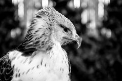 Hawk, hunter bird Royalty Free Stock Image