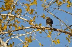 Hawk Hunting Afiado-Shinned de Autumn Tree imagem de stock