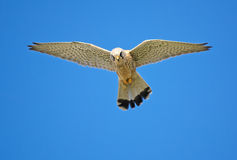 Hawk hunting in the blue sky Royalty Free Stock Images