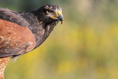 Hawk Hunting Royalty Free Stock Photo