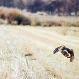 Hawk Hunting i Bosque del Apache djurlivfristad royaltyfri foto