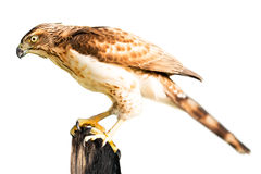 Hawk isolated. Brown hawk hold on stub isolated in white background Royalty Free Stock Photos