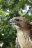 Hawk IV. Swainson's Hawk royalty free stock photos