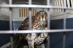 hawk jest cooper Zdjęcie Stock