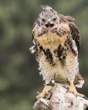 Hawk Juvenile atado vermelho na tutela canadense da ave de rapina fotografia de stock