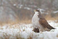 Hawk killed blackbird Royalty Free Stock Photos