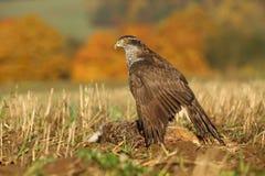 Hawk killed hare Stock Photo