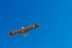 Hawk kite flying in blue sky Stock Image