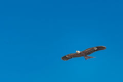 Hawk kite flying in blue sky Stock Images