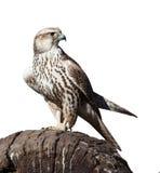 Hawk la seduta su un ceppo di albero, isolato Fotografie Stock