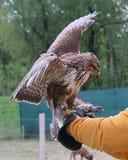 Hawk Landed Fotografia Stock