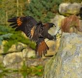 Hawk landing on the rock Royalty Free Stock Photos