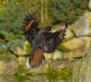 Hawk landing on the rock Stock Photos