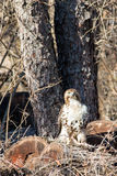 Hawk On Logs Facing Front Royalty-vrije Stock Afbeelding
