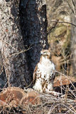 Hawk On Logs Looking Left Stock Photography