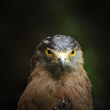 Hawk looking camera Stock Images