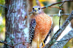 Hawk looking into camera Stock Images