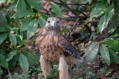 Hawk Looking en la cámara fotografía de archivo