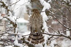 Hawk Looking para la presa en un árbol nevado imagen de archivo libre de regalías