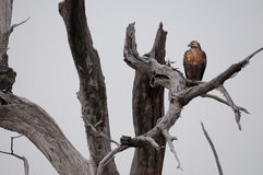 Hawk lurking. On tree branches Stock Photography