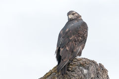 Hawk lurking. On tree branches Royalty Free Stock Photography