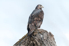 Hawk lurking. On tree branches Royalty Free Stock Photos