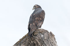 Hawk lurking. On tree branches Royalty Free Stock Image