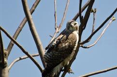Hawk Making Eye Contact Rosso-munito Immagine Stock Libera da Diritti