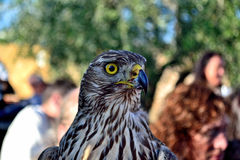 Hawk  in a Malmantile City Medieval festival Lastra a SIGNA Royalty Free Stock Photo