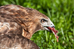 Hawk with meat Royalty Free Stock Photo