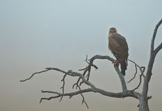 Hawk in the mist. A hawk waiting for the best visibility in a foggy morning in the Kgalagadi Transfrontier national park Stock Image