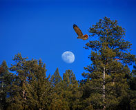 Hawk and moon. A golden tail hawk flying in the blue sky, the moon above the trees Royalty Free Stock Images
