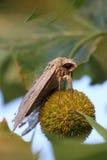 Hawk Moth Fotos de archivo