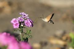 Hawk Moth stock foto
