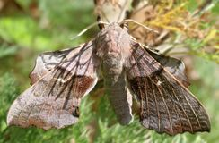 Hawk Moth Brown. A large brown Hawk Moth with wings spread Royalty Free Stock Images