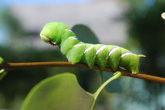 Hawk Moth caterpillar Stock Photos