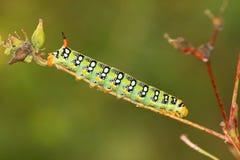 Hawk moth caterpillar (Deilephila euphorbiae) Stock Image